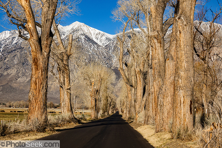 Old cottonwood trees line a rural road under the snowy Sierra Nevada mountains in early spring 2021, in Round Valley near Bishop, California, USA. (© Tom Dempsey / PhotoSeek.com)