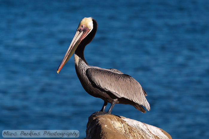 This California brown pelican (Pelecanus occidentalis californicus) is standing proudly on a rock in front of a blurred-out calm blue ocean background.  The pelican is seen in profile, with its beak, bill pouch, and legs clearly visible. (Marc C. Perkins)