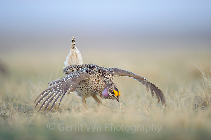 Adult male Sharp-tailed Grouse(Tympanuchus phasianellus) displaying on a lek. Ft. Pierre National Grassland, South Dakota. April. (Gerrit Vyn)
