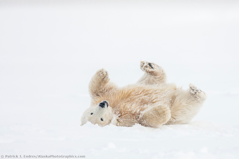 Polar bear cub rolls in the falling snow on an island in the Beaufort sea, arctic, Alaska. (Patrick J. Endres / AlaskaPhotoGraphics.com)