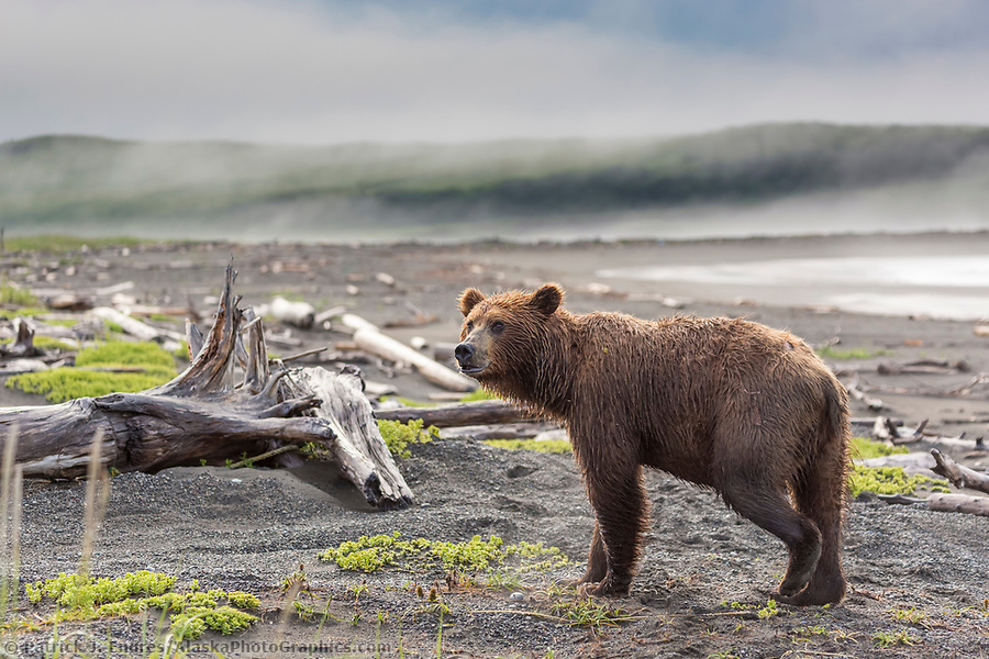 Brown bear among the driftwood along the shore of coastal, Katmai National Park, Alaska Peninsula, southwest Alaska. (Patrick J. Endres / AlaskaPhotoGraphics.com)