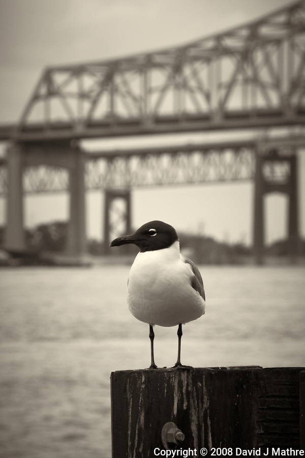 Seagull along Mississippi River in New Orleans, Louisiana. Image taken with a Nikon D300 and 18-200 mm lens (ISO 200, 150 mm, f/11, 1/125 sec). Processed with Capture One Pro (including conversion to B&W). (David J Mathre)