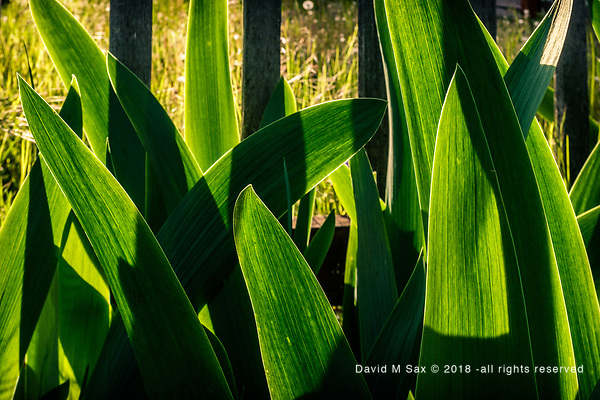 4.28.17 - Green Day... (© David M Sax 2017 - all rights reserved)