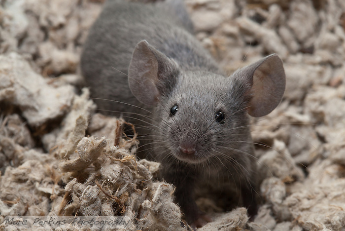 A gray male pet mouse stands on all four paws and looks just past the camera, seemingly ready for anything.  He's in an exploration mode, looking around the area with ears perked up and whiskers at the ready. (Marc C. Perkins)