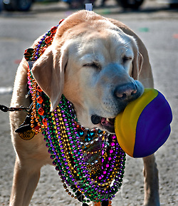 Yvonne, an eight-year-old Labrador Retriever owned by Janice Engle of Idaho, catches a football during the annual Mardi Gras parade March 6, 2011 in Grand Isle, La. The island was heavily impacted by the Deepwater Horizon oil spill April 20, 2010 and continues to recover. (Photo by Carmen K. Sisson/Cloudybright) (Carmen K. Sisson/Cloudybright)