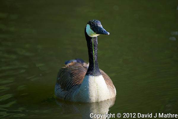 Canadian Goose with Aquatic Grass in a Pond at the Sourland Mountain Preserve. Image taken with a Nikon D800 and 500 mm f/4 VR lens (ISO 250, 500 mm, f/4, 1/500 sec). (David J Mathre)