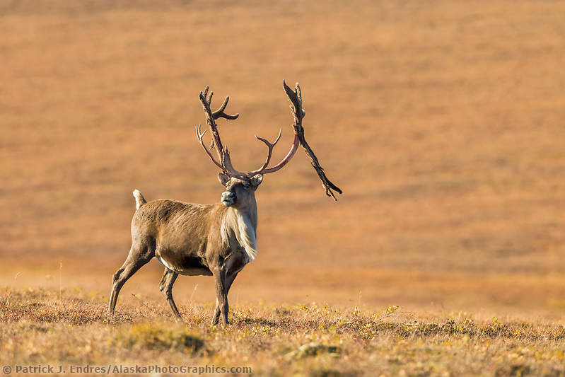 Bull caribou, rangifer tarandus, on tundra north of the Brooks range, Arctic, Alaska. (Patrick J. Endres / AlaskaPhotoGraphics.com)