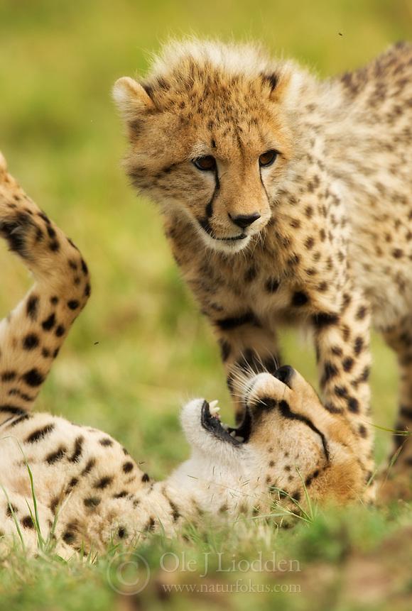 Mother and cub Cheetah (Acinonyx jubatus) in Masai Mara, Kenya (Ole Jørgen Liodden)