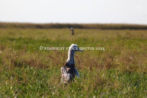 A young Brown Booby (Sula leucogaster) rests in coastal grassland on Adele Island on the remote Kimberley coast.  The chick is still shedding the last of its down. (Annabelle Sandes/ Annabelle Sandes | Kimberley Media)