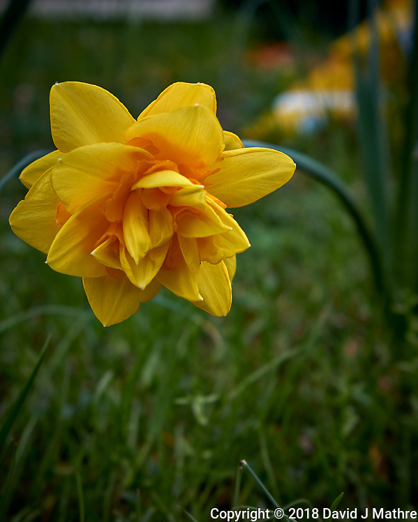 Late Fancy Daffodil Flower. Image taken with a Leica CL camera and 23 mm f/2 lens (David J Mathre)