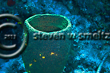 Green Vase Sponge Grand Cayman (Steven Smeltzer)