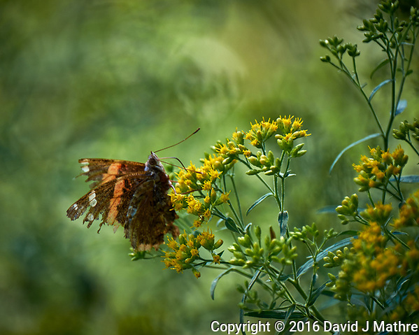 Ragged Butterfly. Image taken with a Fuji X-T1 camera and 100-400 mm OIS lens (ISO 200, 400 mm, f/5.6, 1/300 sec). (David J Mathre)