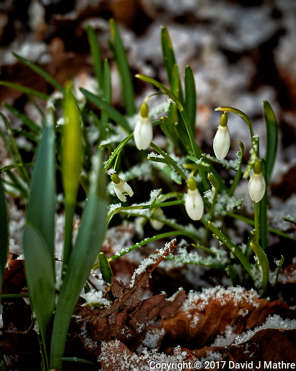 Snow drops after a quick snowfall. Winter nature in New Jersey. Image taken with a Nikon Df camera and 70-200 mm f/2.8 lens (ISO 400, 200 mm, f/2.8, 1/250 sec). (David J Mathre)