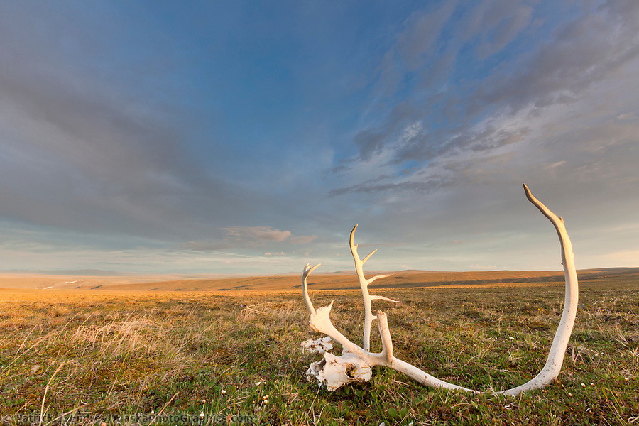 National Petroleum Reserve Alaska photos: Landscape with bull caribou antlers on the summer tundra along Archimedes ridge in the Utukok uplands, National Petroleum Reserve Alaska, Arctic, Alaska. (Patrick J. Endres / AlaskaPhotoGraphics.com)