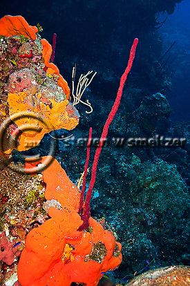 Elephant Ear Sponge, Agelas clathrodes, Row Pore Rope Sponge, Aplysina cauliformis, Grand Cayman (StevenWSmeltzer.com)