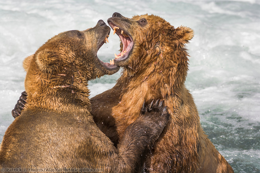 Brown bears play fighting behaviour in the Brooks River, Katmai National Park, Alaska (Patrick J. Endres / AlaskaPhotoGraphics.com)