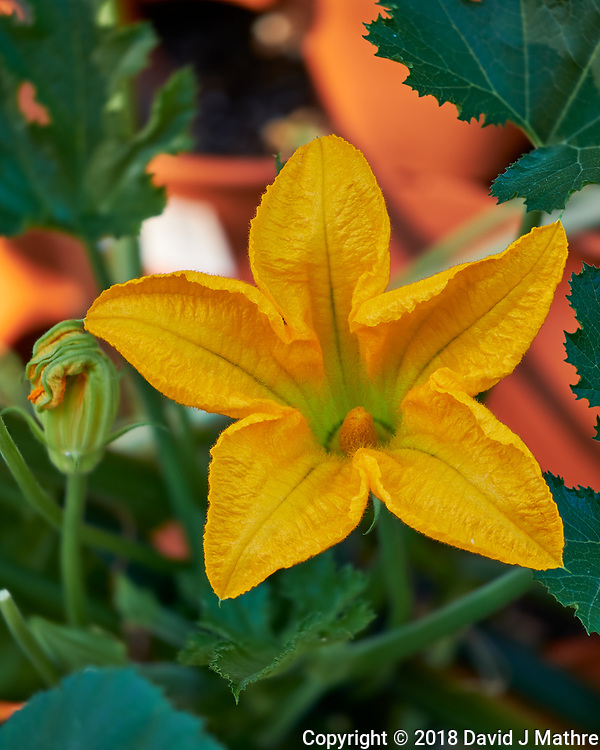 Zucchini Flower. Composite of 11 focus bracketed images taken with a Fuji X-H1 camera and 80 mm f/2.8 macro lens (ISO 200, 80 mm, f/2.8, 1/125 sec). Raw images processed with Capture One Pro and Helicon Focus. (DAVID J MATHRE)