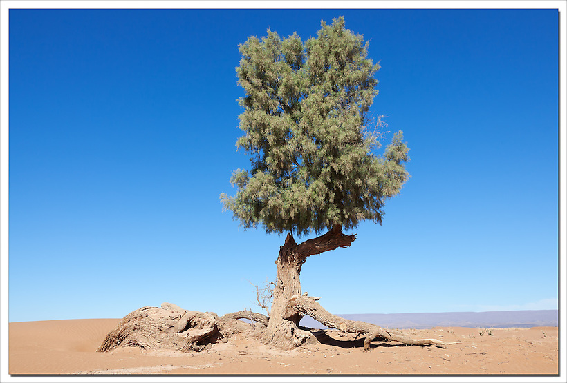A single Tamarisk tree (Tamarix articulata) in the Sahara desert against clear blue sky. (Rosa Frei)