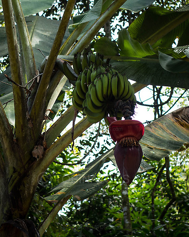 A real wild banana tree with bananas growing alongside walk T14 on Ilha Grande, Brazil. Photo by Andrew Tobin/Tobinators Ltd (Andrew Tobin/Tobinators)