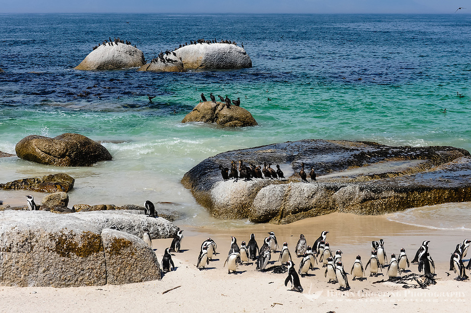 Boulders Beach near Cape Town in South Africa has a colony of African Penguins which settled there in 1982. (Photo Bjorn Grotting)