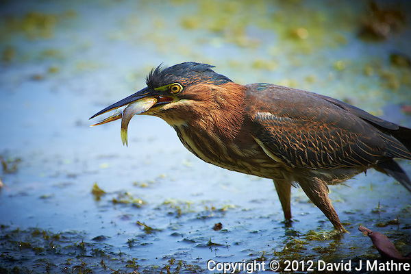 Green Heron Gone Fishing at a Pond in the Sourland Mountain Preserve. Image taken with a Nikon D4 and 300 mm f/2.8 VR len + TC-E III 20 teleconverter (ISO 800, 600 mm, f/5.6, 1/500 sec). (David J Mathre)