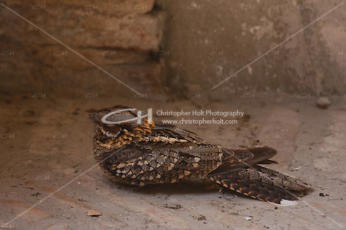 nightjar resting in the shade in sevilla cathedral, spain (Christopher Holt LTD London UK/Image by Christopher Holt - www.christopherholt.com)