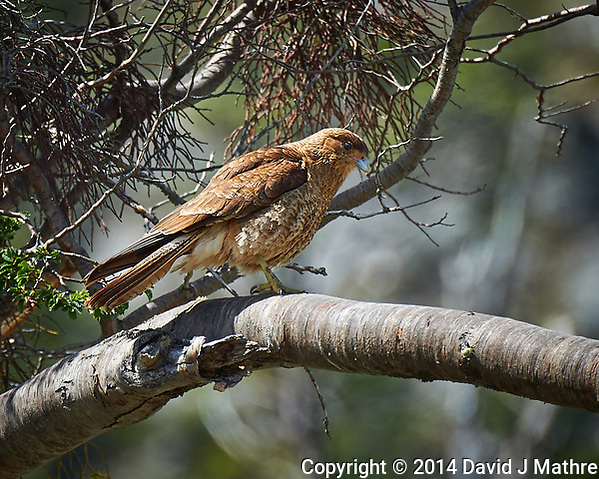 Chimango Caracara in a Tree at Tierra del Fuego National Park. Outside of Ushuaia in Argentina. Image taken with a Nikon Df camera and 80-400 mm VRII lens (ISO 200, 400 mm, f/5.6, 1/640 sec). Raw image processed with Capture One Pro, Focus Magic, and Photoshop CC. (David J Mathre)