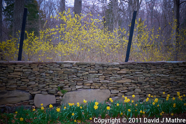 Forsythia Bloom. Spring in New Jersey. Image taken with a Leica D-Lux 5 (ISO 100, 10.7 mm, f/2.8, 1/25 sec) (David J Mathre)