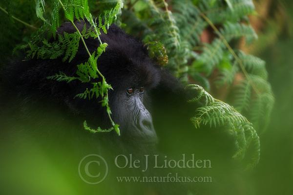 Mountain Gorilla (Gorilla beringei beringei) in Rwanda (Ole Jørgen Liodden)