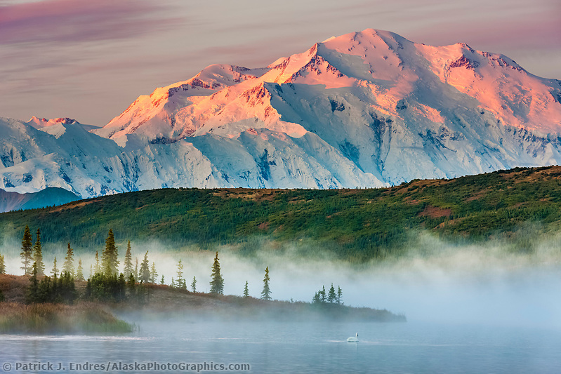 Trumpeter swan swims amidst the morning fog over the calm waters of Wonder Lake at sunrise, Denali looms in the distance, Denali National Park, Alaska. (Patrick J. Endres / AlaskaPhotoGraphics.com)