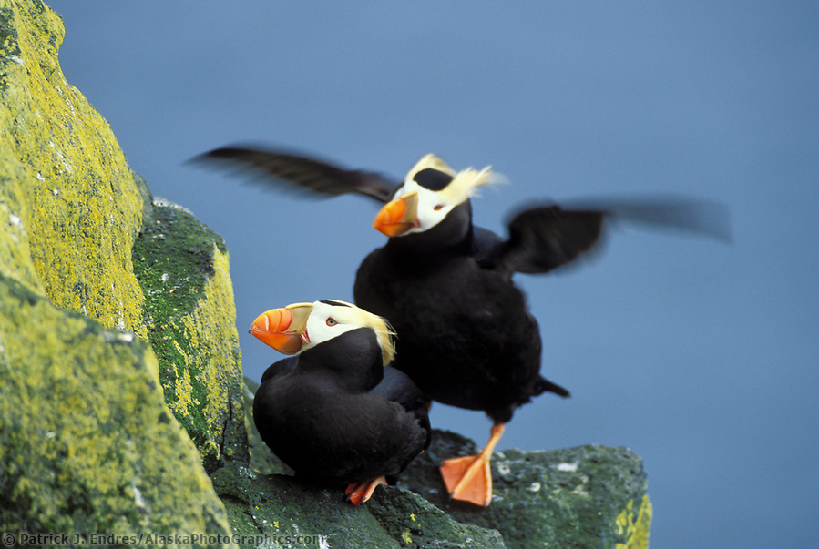 Tufted puffins, St. Paul Island, Pribilof Islands, Alaska. Two species live in Alaskan waters: the Horned Puffin (Fratercula corniculata) and the Tufted Puffin (Fratercula cirrhata). (Patrick J. Endres / AlaskaPhotoGraphics.com)