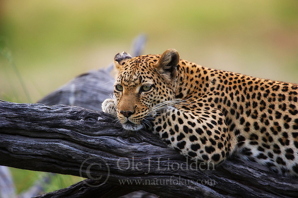 Leopard (Panthera pardus) resting in Okavango, Botswana (Ole Jørgen Liodden)