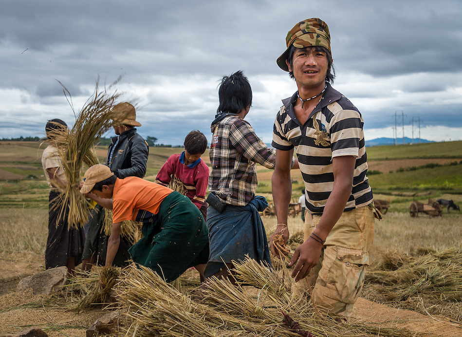 SHAN PROVINCE, MYANMAR - CIRCA DECEMBER 2013: Group of farmers harvesting sticky rice in the countryside. (Daniel Korzeniewski)