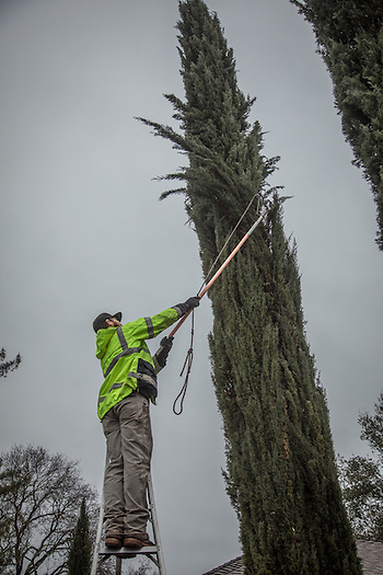 Franz Valley Tree Service employee and Hidden Valley resident Ryan Johnson prunes trees on School Street in Calistoga (© 2017 Clark James Mishler)