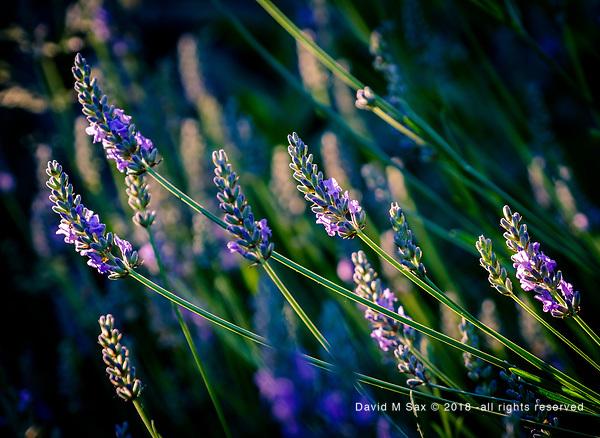 7.3.18 - Purple Haze... (©David M Sax 2018 - all rights reserved)