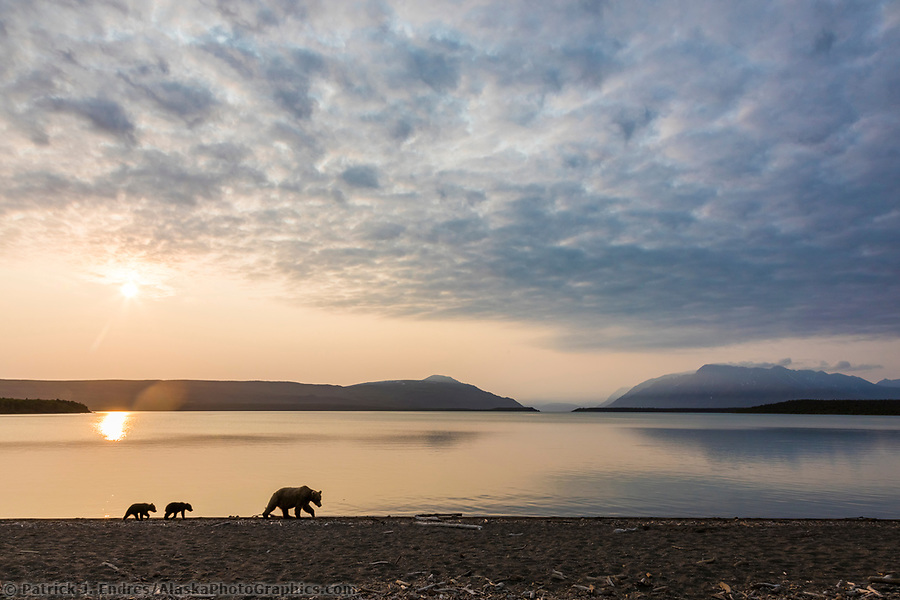 Brown bear spring cubs walk along the shore of Naknek lake at sunrise, in Katmai National Park, Alaska (Patrick J Endres / AlaskaPhotoGraphics.com)