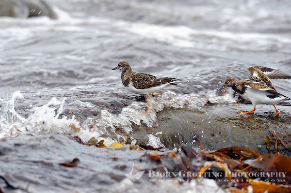 The Ruddy Turnstone (Arenaria interpres) is a small wading bird. It is a highly migratory bird breeding in northern parts of Eurasia and North America and flying south to winter on coastlines almost worldwide. It is the only species of turnstone in much of its range and is often known simply as Turnstone. (Bjørn Grøtting)