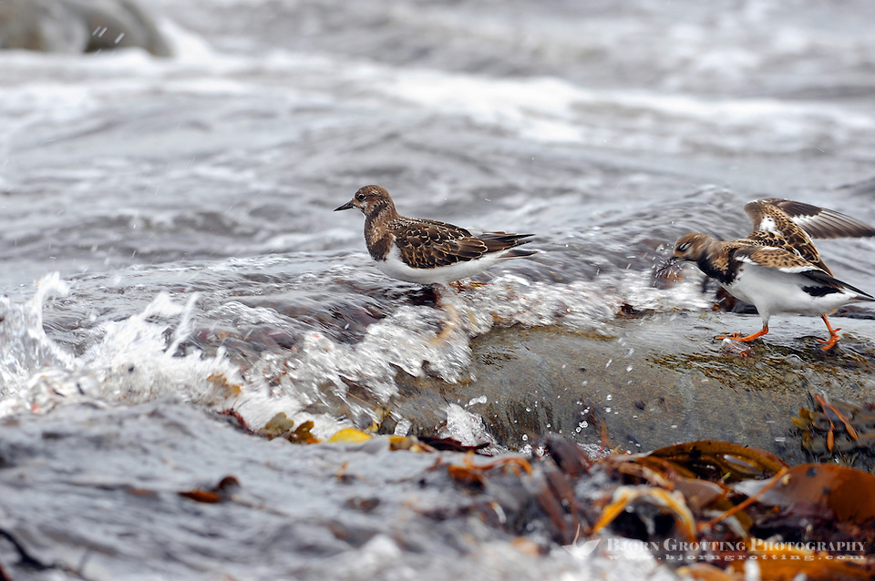 The Ruddy Turnstone (Arenaria interpres) is a small wading bird. It is a highly migratory bird breeding in northern parts of Eurasia and North America and flying south to winter on coastlines almost worldwide. It is the only species of turnstone in much of its range and is often known simply as Turnstone. (Photo Bjorn Grotting)