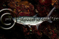 Tarpon, Megalops Atlanticus, Tarpon Alley, Grand Cayman (StevenWSmeltzer.com)