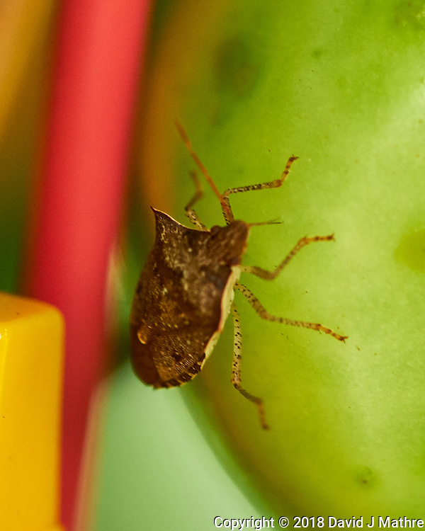Stink Bug eating My Tomatoes. Image taken with a Fuji X-H1 camera and 80 mm f/2.8 macro lens (DAVID J MATHRE)