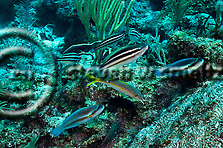 Princess Parrotfish, Scarus taeniopterus, Desmarest, 1831, Striped Parrotfish, Scarus iseri, (Bloch, 1789), Grand Cayman (StevenWSmeltzer.com)