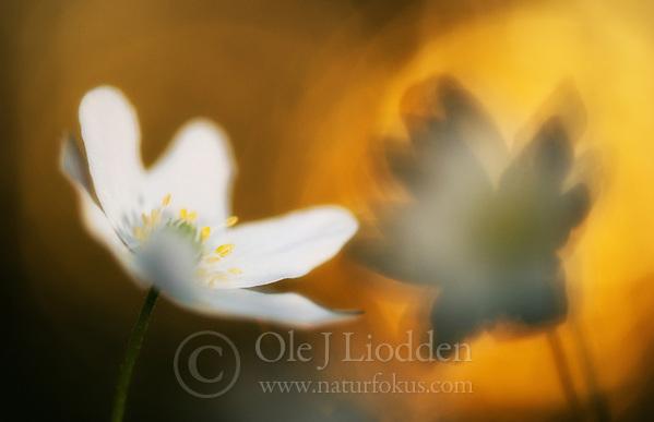 White Anemone (Anemone nemorosa) (Ole Jørgen Liodden)