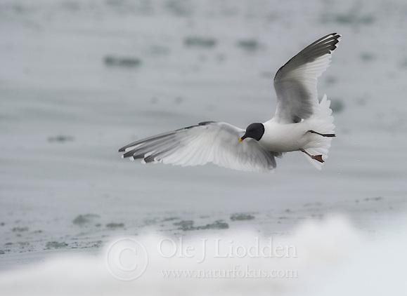 Sabine's Gull (Xema sabini) in Svalbard (Ole Jørgen Liodden)