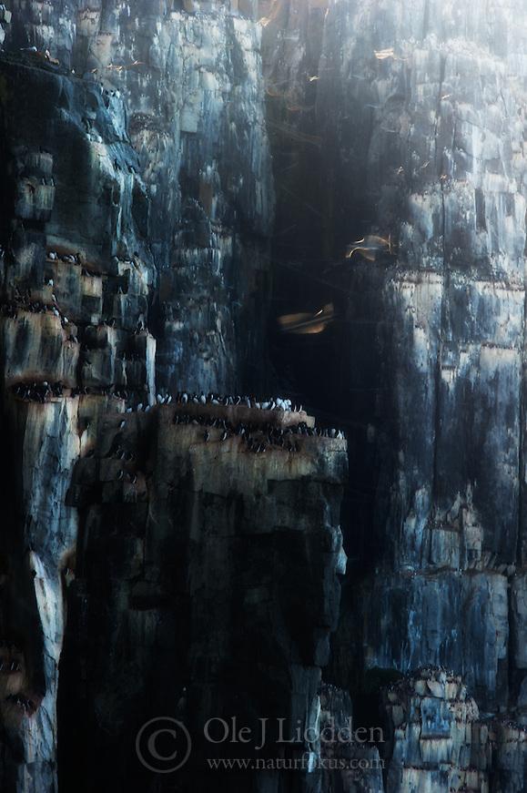 Brunnich's Guillemot (Uria lomvia) in Svalbard (Ole Jørgen Liodden)