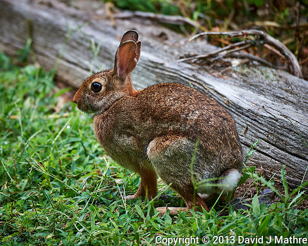 Harvey the Rabbit getting close to my kitchen garden. Image taken with a Nikon D4 camera and 80-400 mm VR II lens (ISO 800, 400 mm, f/5.6, 1/1000 sec). Raw image processed with Capture One Pro, Focus Magic, and Photoshop CC. (David J Mathre)