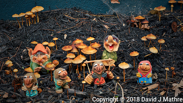 Troll Family Autumn Mushroom Jamboree. Composite of 20 focus stacked images taken with a Fuji X-H1 camera with a 56 mm f/1.2 lens (ISO 200, 56 mm, f/2.8, 1/125 sec). Raw images processed with Capture One Pro and Helicon Focus (Method B, R8, S4). (DAVID J MATHRE)