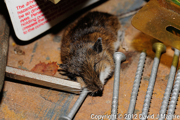 Dead Mouse in the Basement. Image taken with a Nikon D3 and 105 mm f/2.8 VR macro lens with a SB-900 flash (ISO 200, 105 mm, f/11, 1/60 sec). (David J. Mathre)