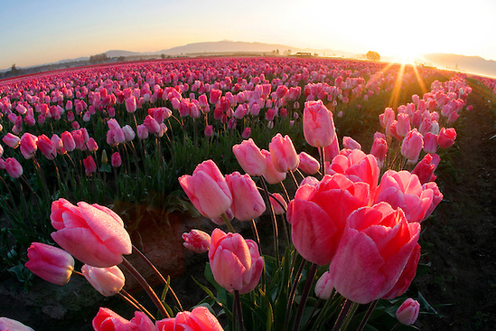 Field of pink tulips, Mount Vernon, Skagit Valley, Skagit County, Washington, USA (Brad Mitchell/Brad Mitchell Photography)