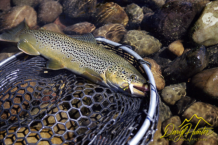 "Big Brown Trout up for a visit from the depths of the South Fork of the Snake River in Swan Valley Idaho. The South Fork has many nice trout like this one because of the catch and release ethic many fly-fisherman exersize today. (Daryl Hunter's ""The Hole Picture"" • Daryl L. Hunter has been photographing the Yellowstone Region since 1987, when he packed up his view camera, Pentex 6X7, and his 35mm's and headed to Jackson Hole Wyoming. Besides selling photography Daryl also publ/Daryl L. Hunter)"