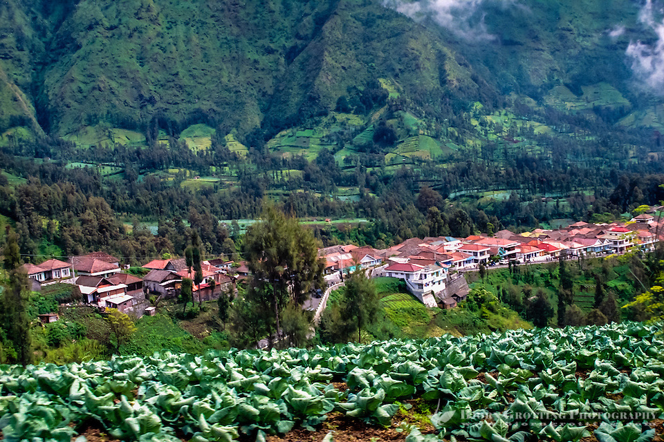 Java, East Java, Bromo Tengger. In the hillside along the road up to Bromo there is a few villages. Cabbage can be grown in the relative cold climate. (Bjorn Grotting)